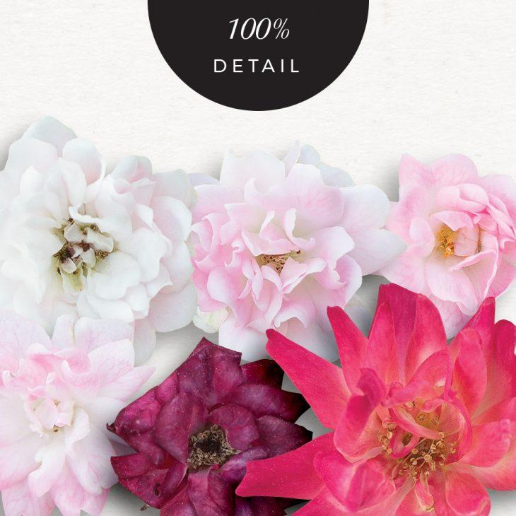 Extracted Pink Roses - Sahin Designs - CU Digital Scrapbook