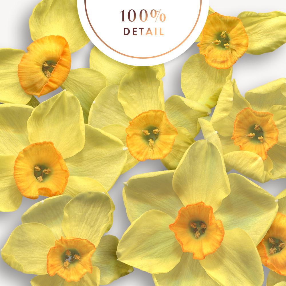 Extracted Daffodil Flowers - Sahin Designs - CU Digital Scrapbook